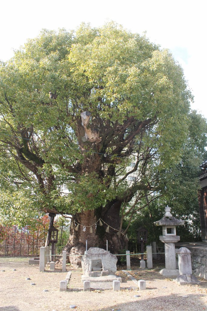 (写真)御神木の大クスノキ